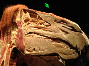 cross section of a horse's head