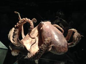 Animal octopus