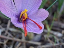 saffron in Utah