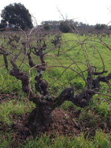 ancient Grenache vine at Bucklin in Sonoma