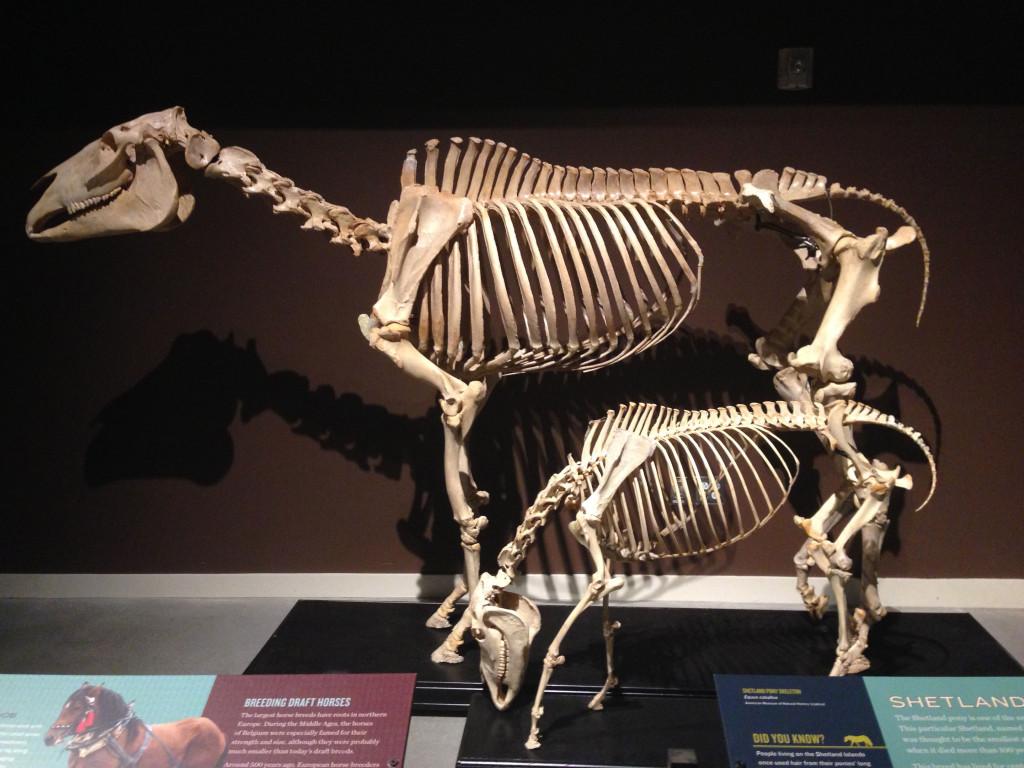various horse skeletons
